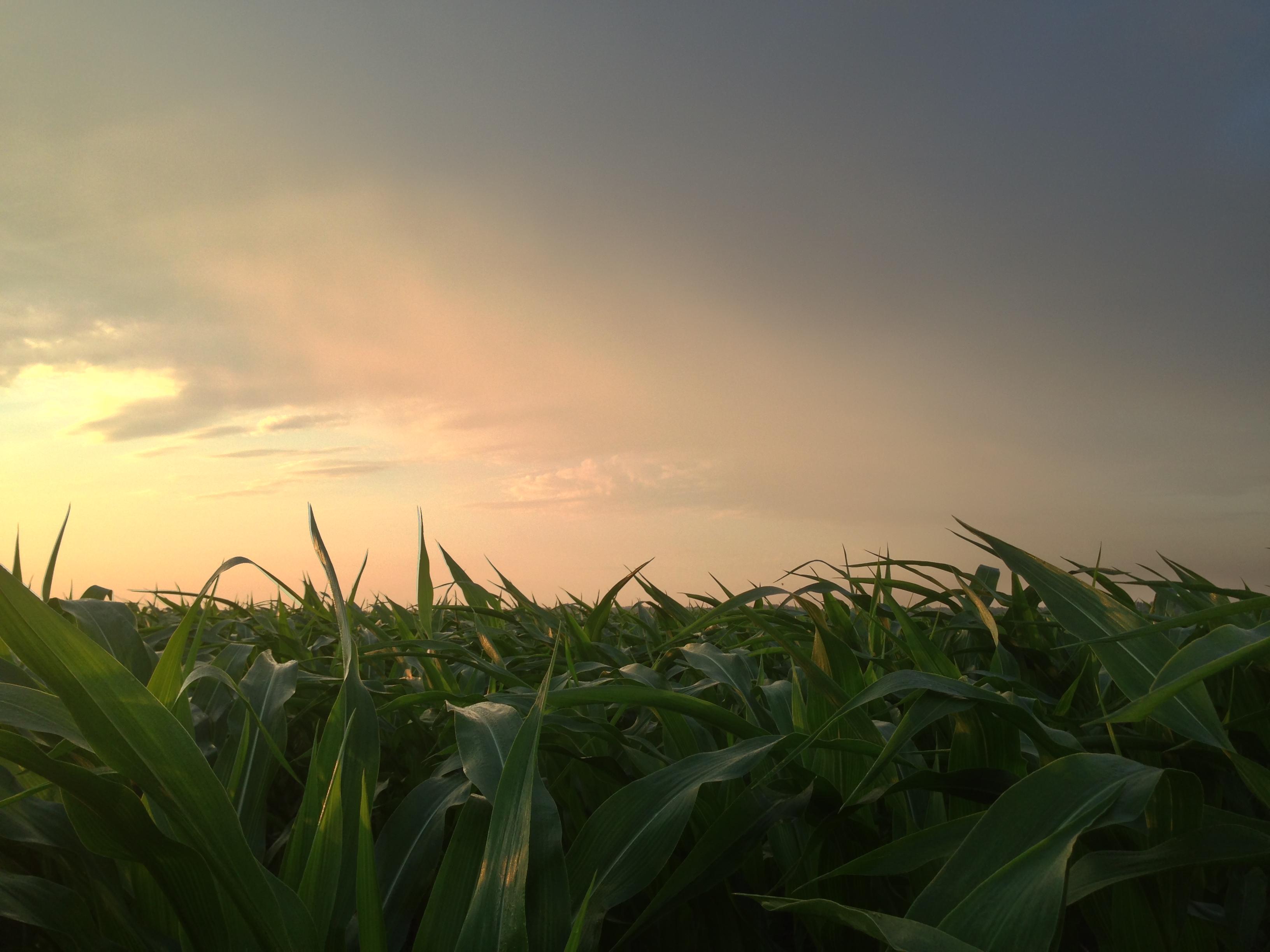 2013 Corn