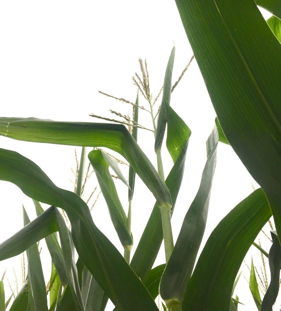 Corn Ears 1