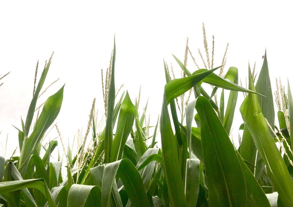 Corn Ears 2